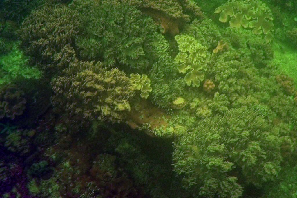 das sind die Korallebänke vor Apo Island, genauer gesagt nahe des Boluarte Point