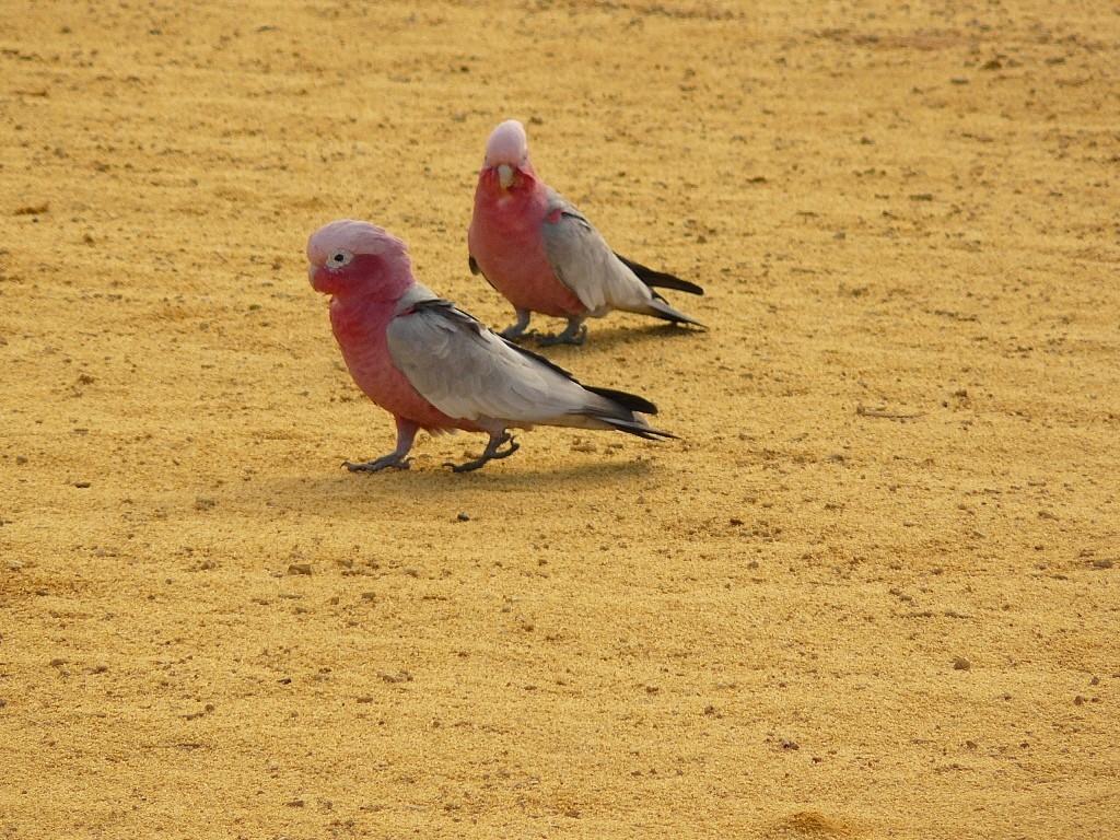 Ein rosa Kakadu Pärchen auch unter Galahs bekannt, im Sand der Pinnacles (Nambung NP-WA)