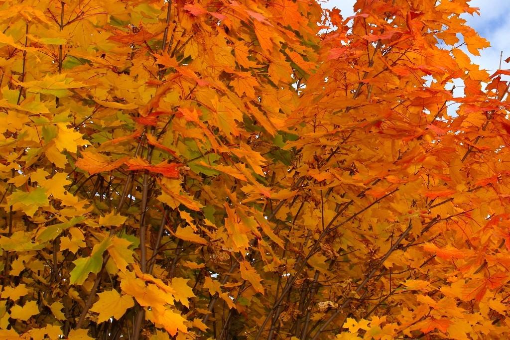 Wunderschöne Laubfärbung im Oktober (Festungswald)