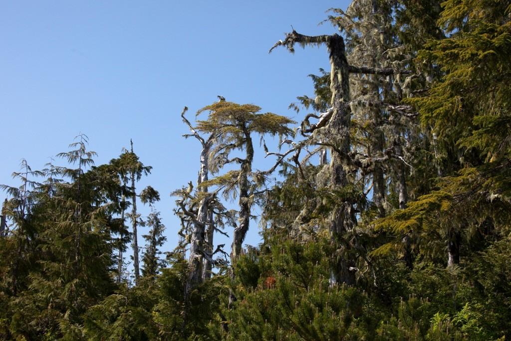 Die geringe Zeit der Wachstumsphase und das raue Klima zeichnet die Bäume in besonderer Art