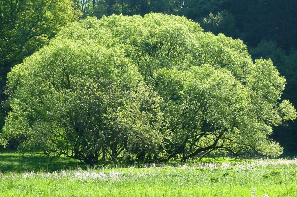 Ein tolles Exemplar von Baum inmitten der Wiesen