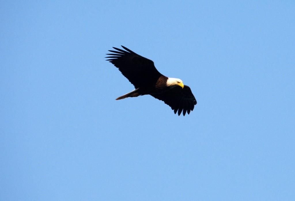 Der Weißkopfadler oder Baldeagle, Wappertier der Vereinigten Staaten ist des öfteren unser Fotomotiv auf unserer Tour