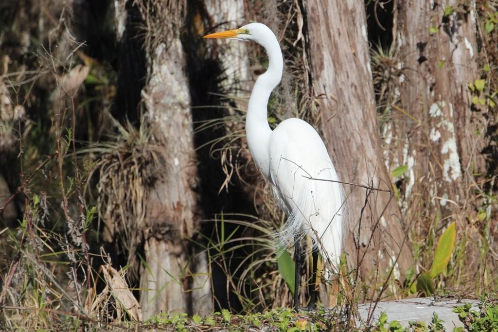 Der Silberreiher, der dem großen weißen Reiher sehr ähnelt. Er hat schwarze Beine, der große weiße Reiher hingegen hat gelbe Beine!