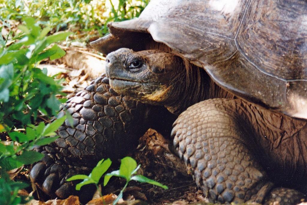 Detailaufnahme der Galapagos Riesenschildkröten