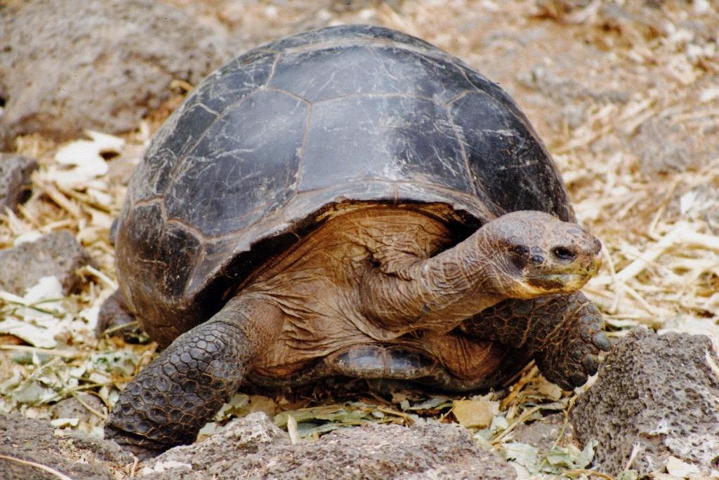 Eine der Riesenschildkröten am Parque National Galapagos