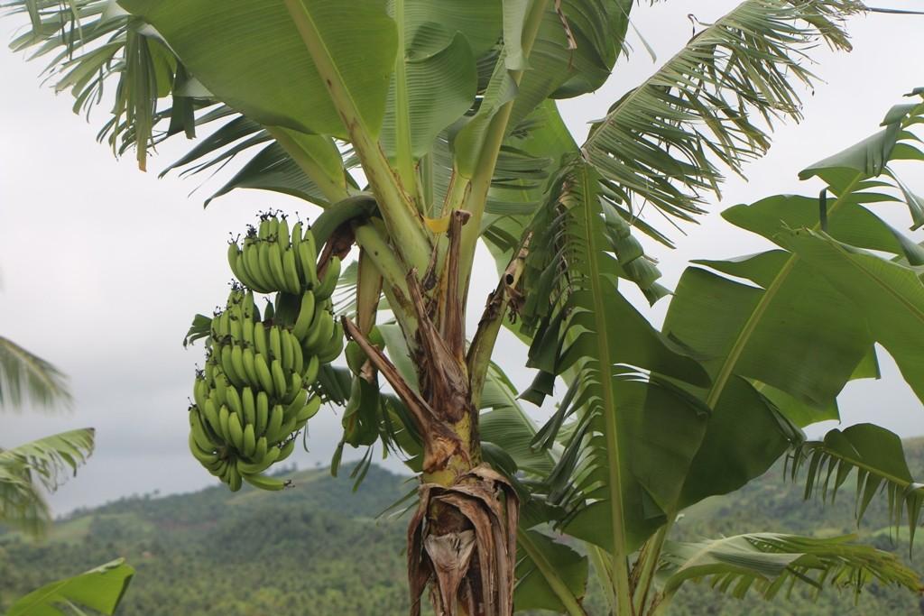 Bananen wachsen hier oben aber auch prächtig