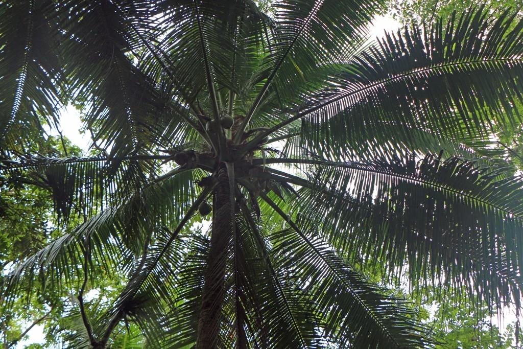 Eine Kokospalmenkrone