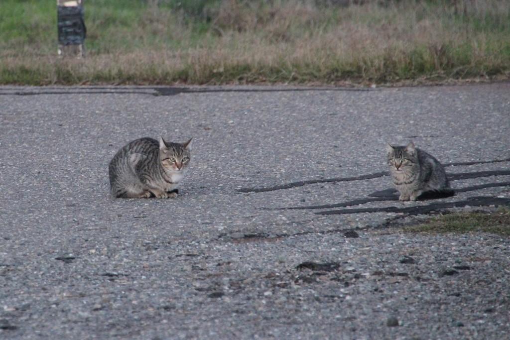 An der letzten Rest Area auf der I 5 erlebten wir diese Katzen beim Balgen um das Fressen!