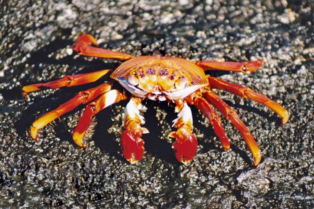 Der Rückenpanzer der roten Klippenkrabbe (durch Kalk gebildet) erreicht eine Länge von 4 - 8 cm. Die rechte Schere ist etwas größer als die linke und Männchen sind etwas größer als die Weibchen