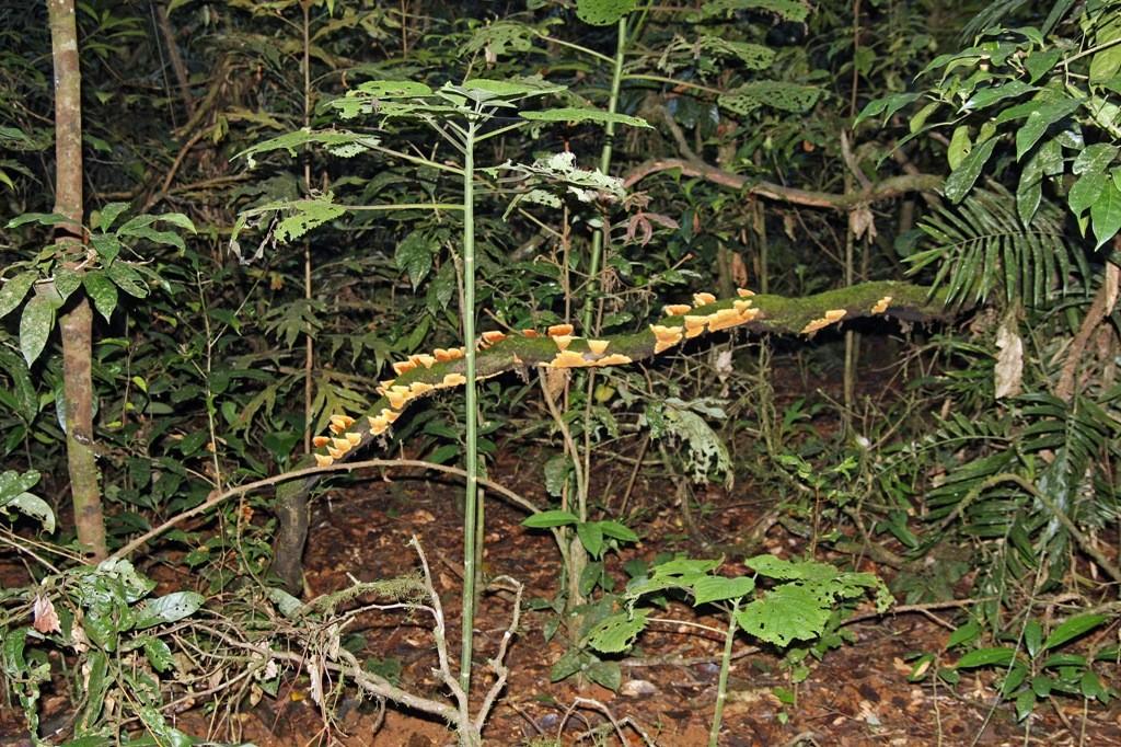 """Der im Vordergrund unscheinbar """"lauernde"""" Stinging Tree oder Nesselbaum, ein Schrecken des Regenwaldes!"""