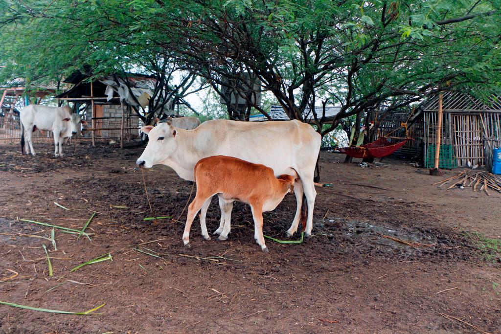 Kühe jedoch, wie vorher schon erwähnt, sind eine Art Wohlstandssymbol