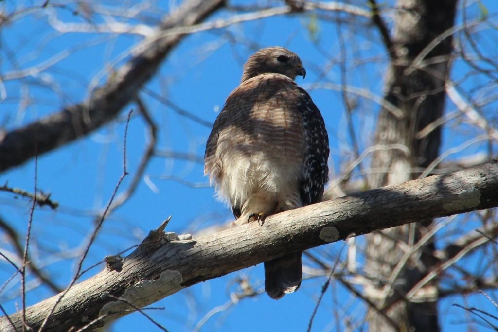 Ein rot-geschulterter Falke auf der Lauer! Seine Beutetiere sind Nagetiere wie Wühlmäuse, Erdhörnchen, Mäuse, Maulwürfe und Streifenhörnchen. Er lebt monogam in einem territorial fixierten Gebiet!