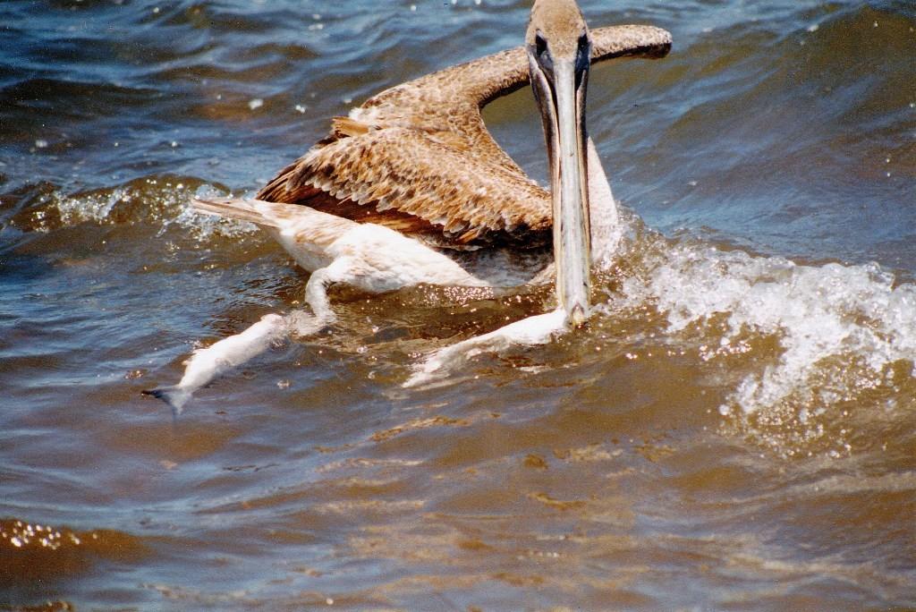 Braune oder Galapagos Pelikane rangeln um die gejagten Fische