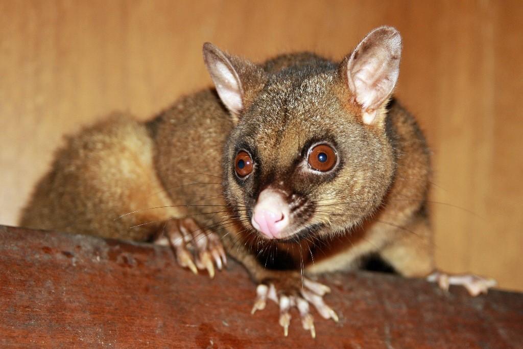 Das neckische und verspielte Possum war Abend stets unser Gast und fraß was wir übrig ließen!