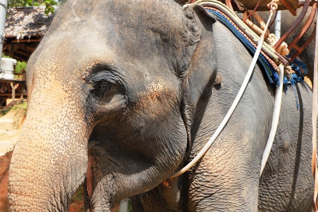Detailansicht eines Safarielefanten