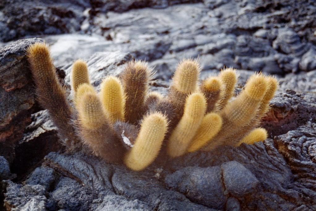 Ein prächtiger Lavakaktus (Brachycereus nesioticus) auf Isla Bartlomé, er wächst als einzige Pflanze auf unfruchtbaren jungen Lavaflächen