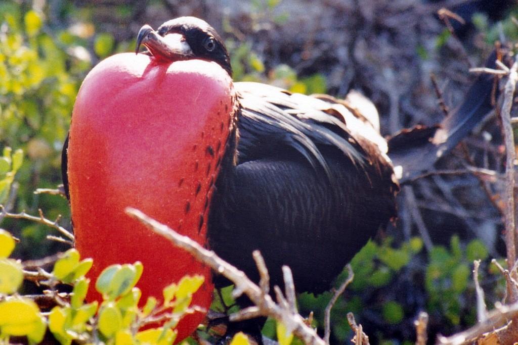 Der Fregattvogel mit seinem leuchtend roten Kehlsack, den sie aufblassen können. Während des Fluges attackieren sie andere Vögel und jagen ihnen die Beute ab
