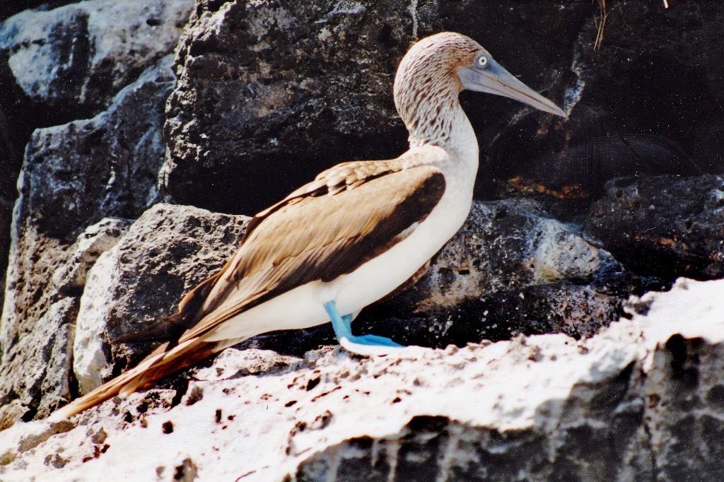 Der gut 80 cm groß werdende Blaufußtölpel, ein besonderes Erlebnis ist die Beobachtung des Balzverhaltens