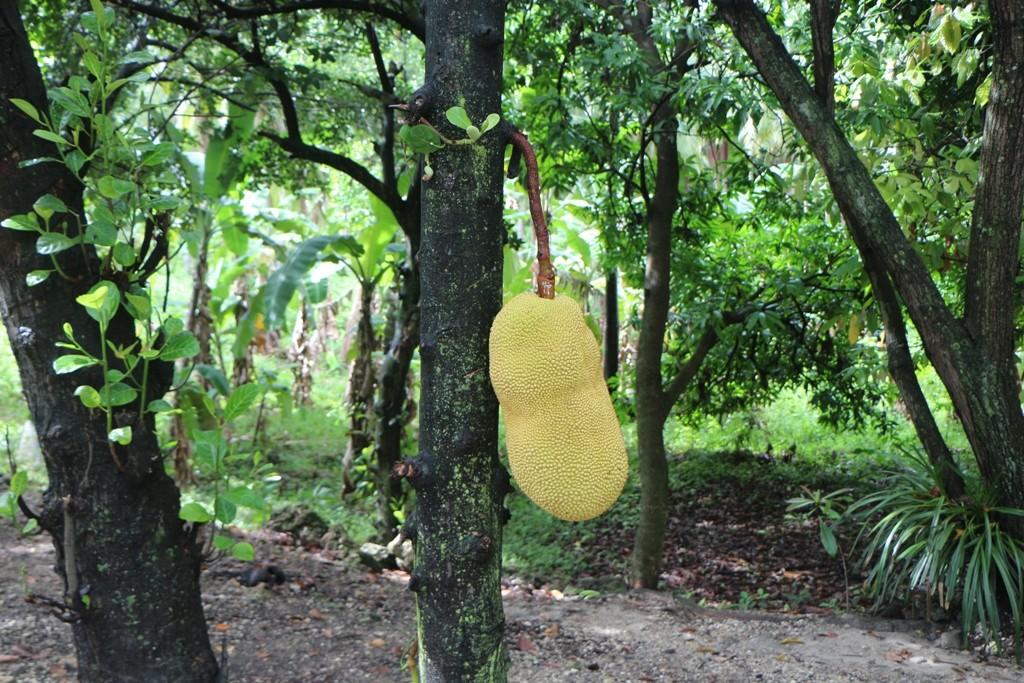 Jackfruit (auch Jacobsfrucht) am Baum, habe keine gute Erinnerung vom gewöhnungsbedürftigen Geschmack!