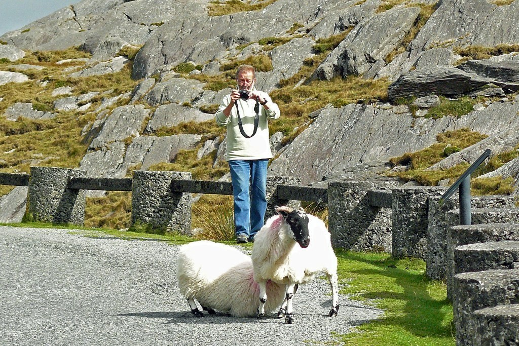 Schafe am Healy Pass