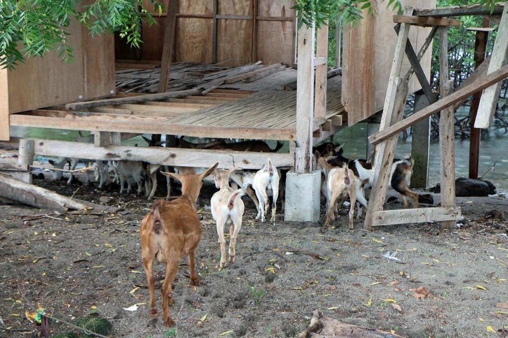 Eine Ziegenherde hat Unterschlupf unter dieser unfertigen Fischerhütte gefunden