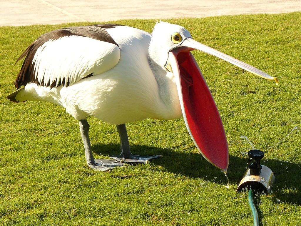 Dieser Pelikan hat eine besondere Quelle zur Durstlöschung gefunden