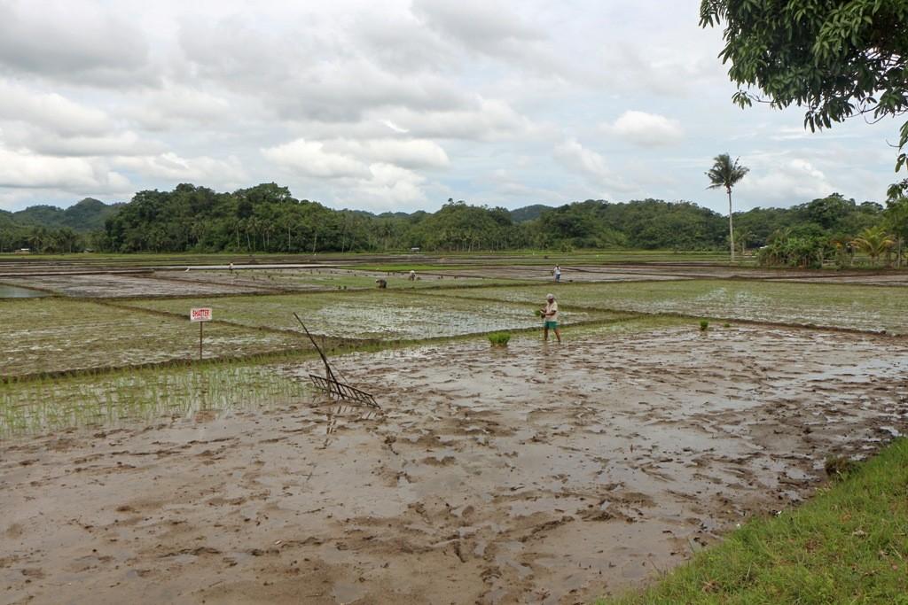Reisbauern bei ihrer beschwerlichen Arbeit