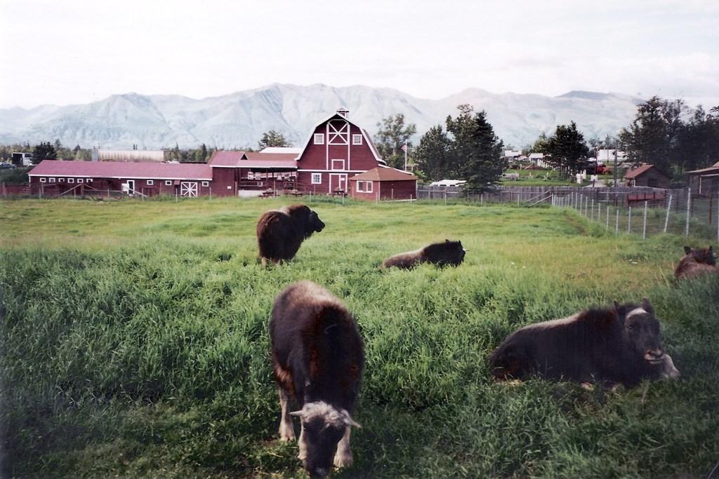 Die Musk Ox Farm (arktische Moschus Ochsen sind die älteste noch lebende Art) von Palmer (Alaska), sie sind Zeitgenosse des Mammut und Säbelzahntigers