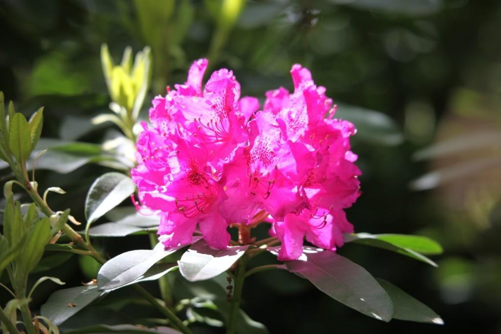 Rhododendron überall und in schönster Blütenpracht