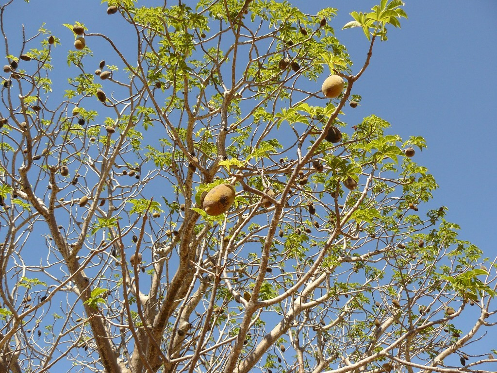 An den HWY Rändern stehen nun die bekannten Boab-Tree´s und Termitenhügel in reicher Anzahl. Der Affenbrotbaum speichert immense Mengen an Wasser und kann sehr alt werden. Hier die Früchte des Boab´s.