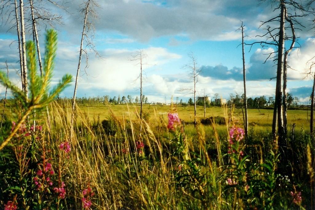 Das Schmalblättrige Weidenröschen oder auch Fireweed ist weltumspannend das Kennzeichen der nativen nördlichen Hemisphäre