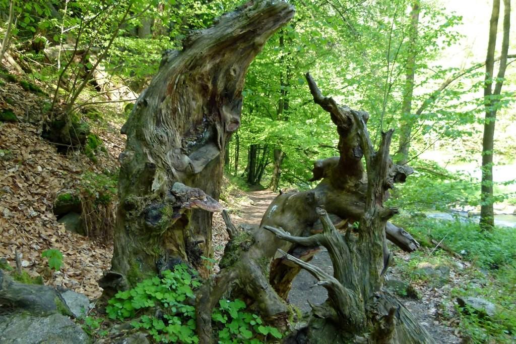Ein alter, recht morscher Baumstumpf zieht uns in seinen Bann