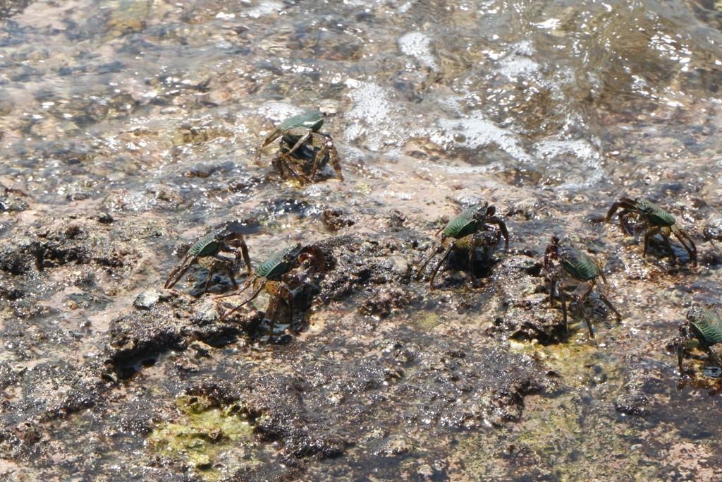 Auf und an den Klippen tummeln sich Fels- oder auch Brandungskrabben, hier sind sie grün!