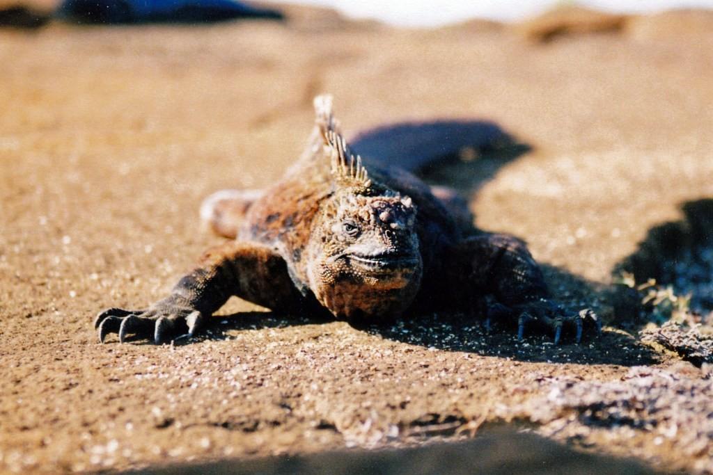 In Bauchlage fotografiert und Glück gehabt, eine Meeresechse direkt von vorn