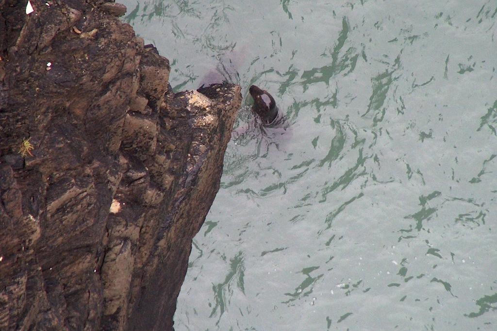 Robben von der Brücke nach dem Lighthouse fotografiert