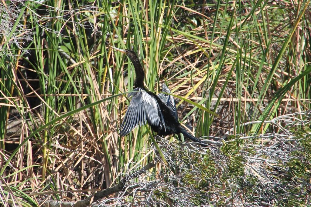 Amerikanischer Schlangenhalsvogel (Anhinga), Ruderfüßer- enger Verwandter der Kormorane