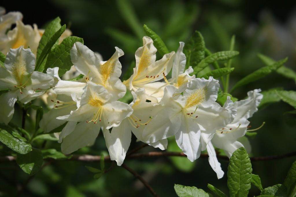 """Im Wörlitzer Park sind vorrangig die Sorten der """"Rhododendron catawbiense"""" angebaut,.... welche in verschiedenen Höhen und Farben zu finden sind."""