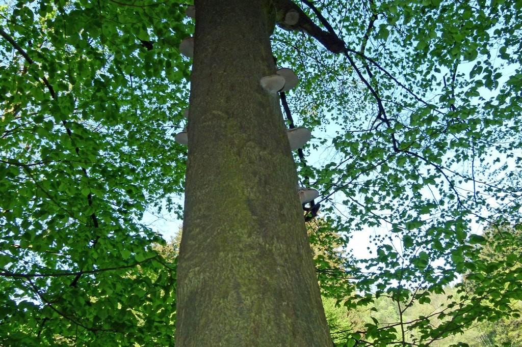 Dieser Baum hat wohl auch nicht mehr das lange Leben, die Baumpilze deuten es an.
