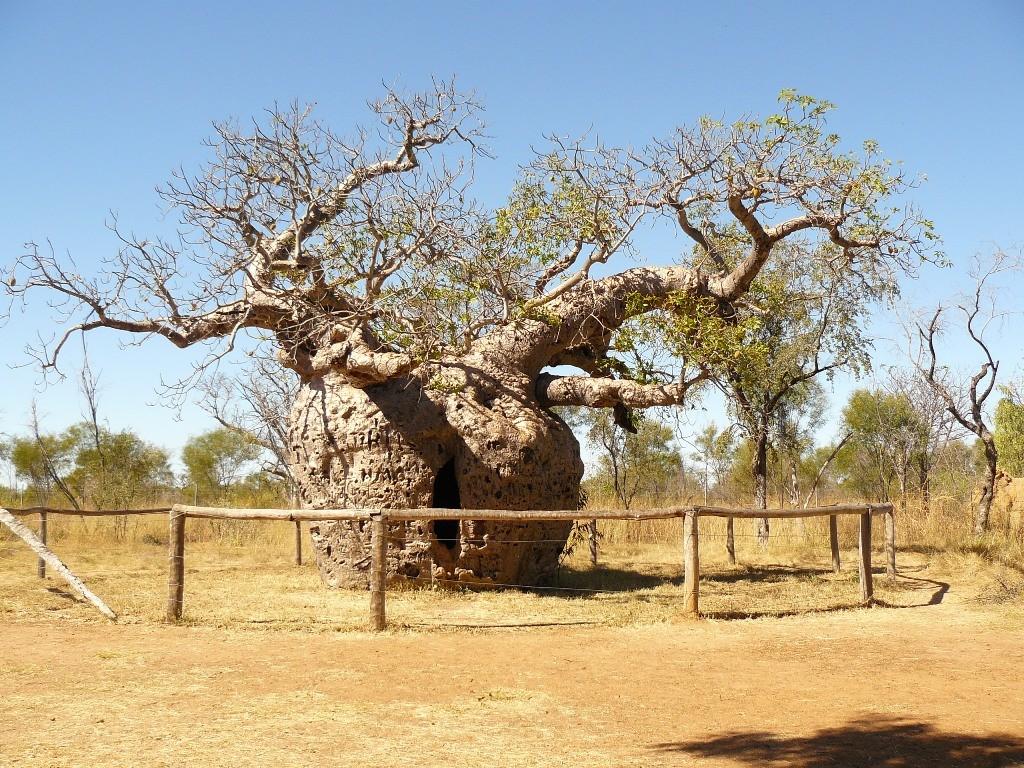 Der Prison Tree war einst Übergangsgefängnis für Aborigines, ein geschichtsträchtiger Baum.