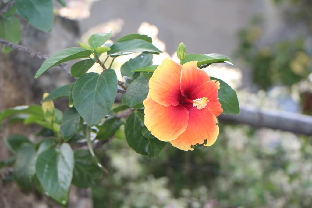 Blütenzauber des Hibiskus am Wegesrand, der musste noch auf die Speicherkarte!
