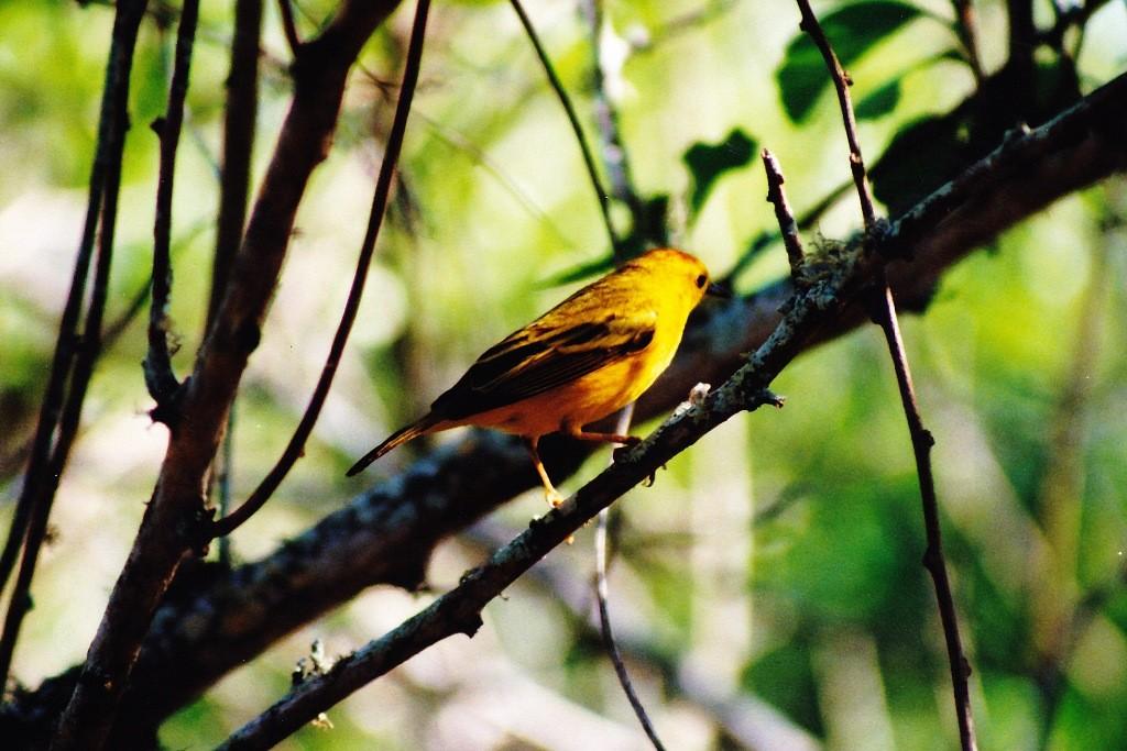 Ein Goldwaldsänger, ein männlicher Altvogel