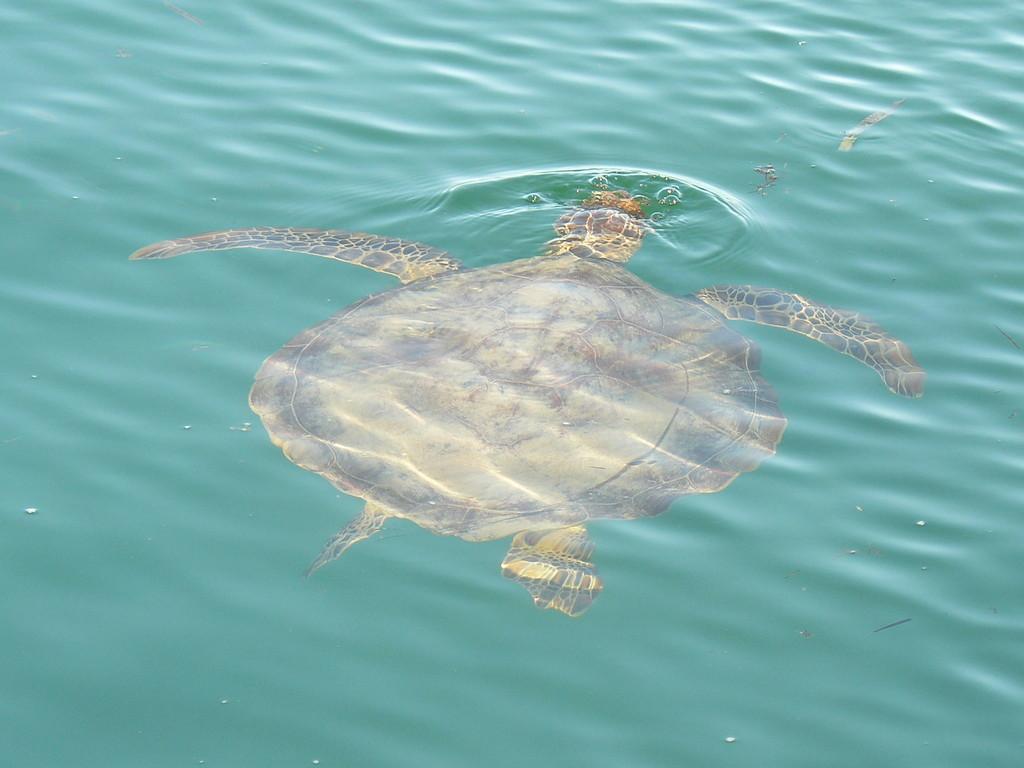 Ein enorm großes Exemplar einer Wasserschildkröte