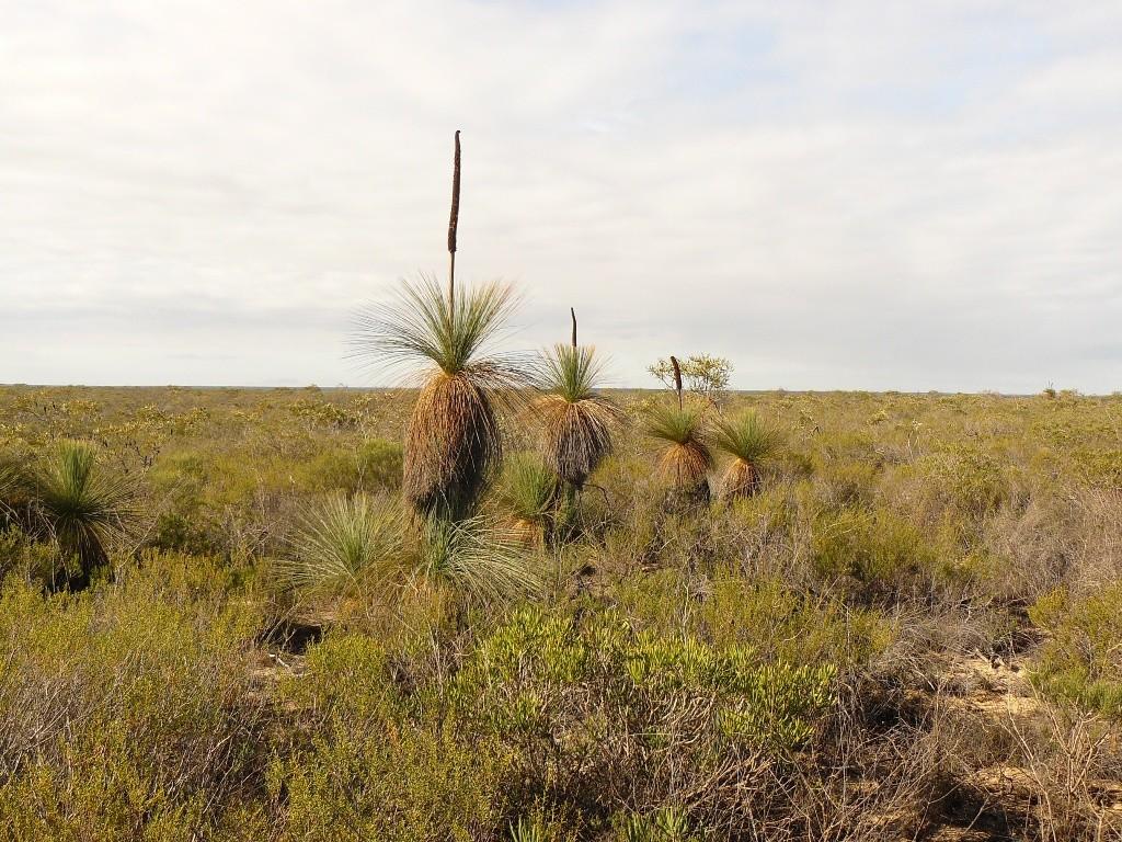 WA- Vegetation, hier die sehr langsam wachsenden Grasbäume (sie werden mehrere hundert Jahre alt und wachsen nur 1 - 2 cm pro Jahr) links und rechts von der Piste.