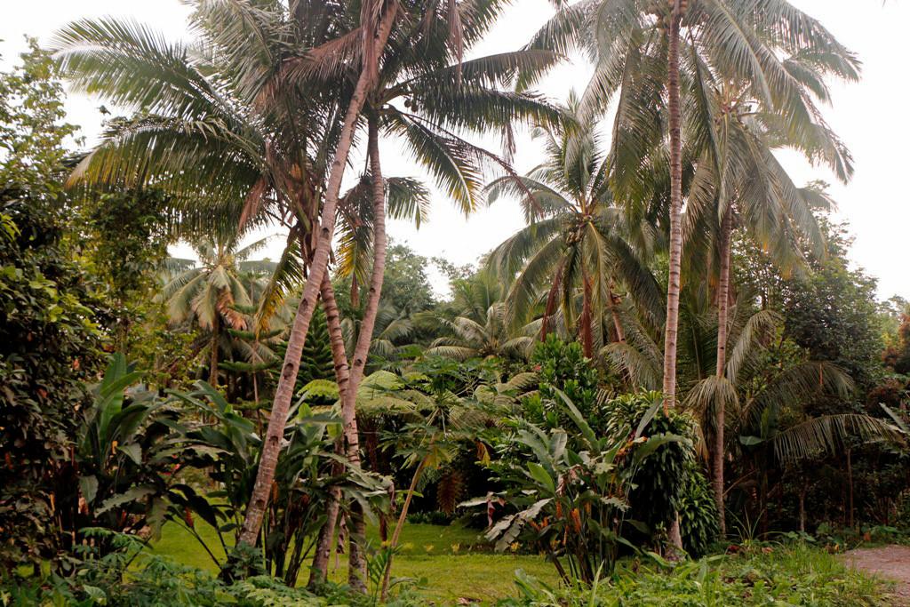 Palmen wachsen hier in allen Höhenlagen, gut zu sehen sind hier die Trittkerben im Stamm die für die Kokosnuss-Ernte eingeschlagen wurden!
