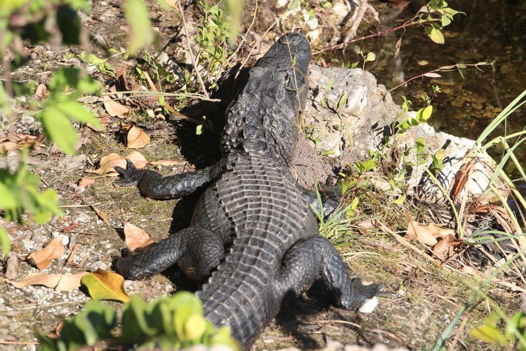 Der allgegenwärtige Alligator im Big Cypress NP
