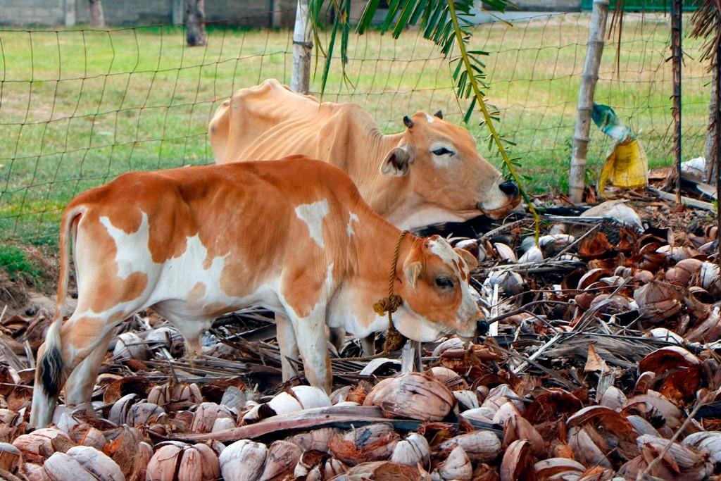 Wir staunten nicht schlecht, die armen Kühe fraßen sogar Kokosnuss-Schalen, alles andere als saftig!