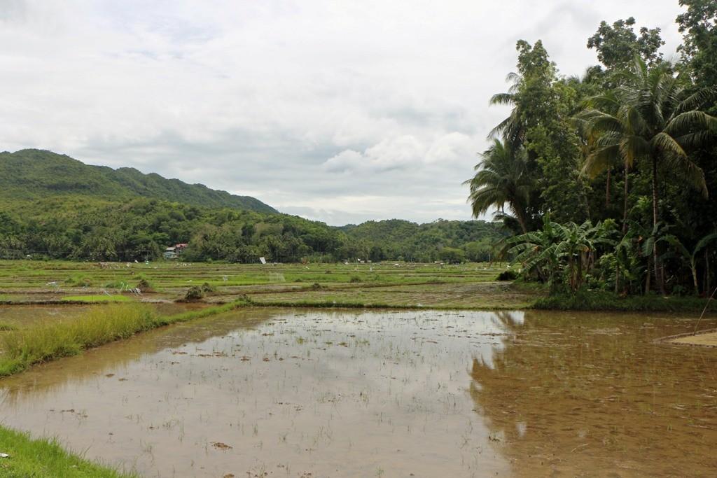 Reisfelder im inneren der Insel, Haupterwerbszweig der Boholaner!