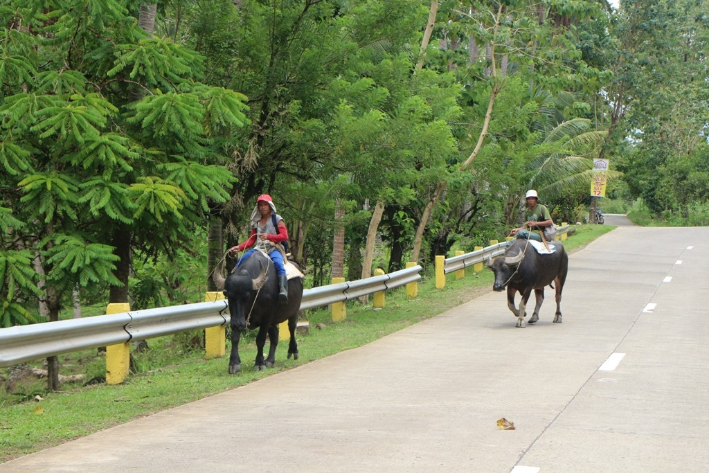 Wasserbüffel, der unverzichtbare organische Traktor im Regenwald und auf den Reisfeldern