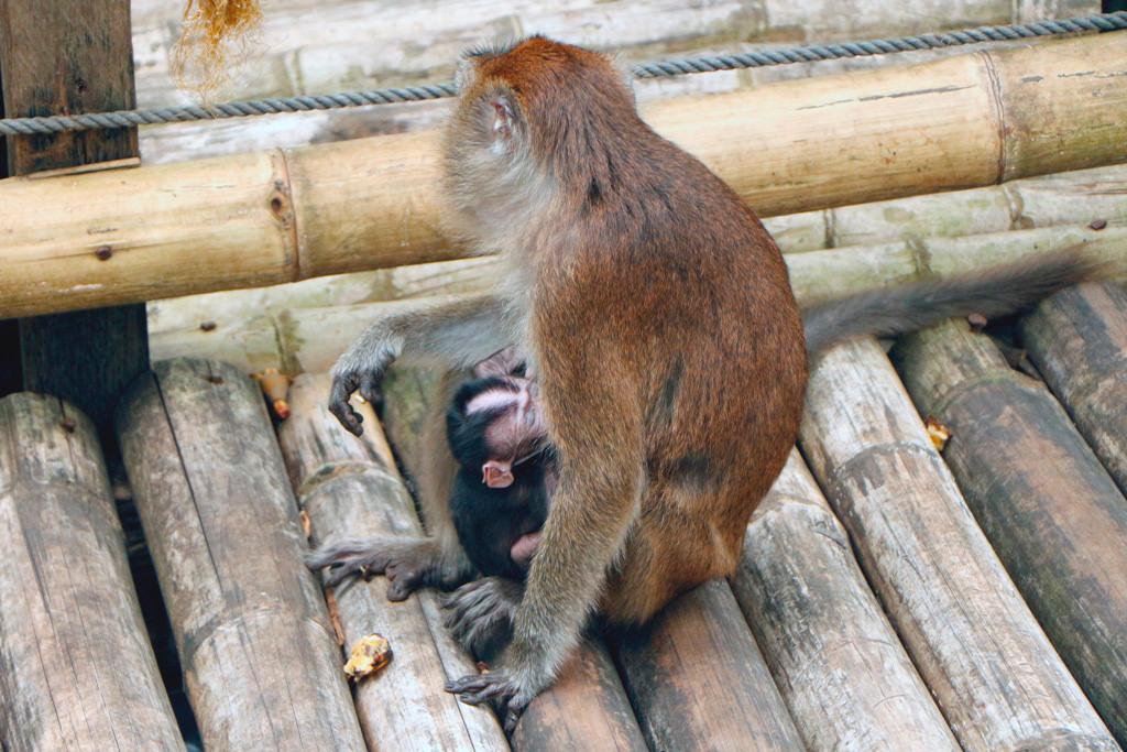So dicht bei Fuß hatte ich noch nie einen Makaken, schon garnicht Mutter und Kind!