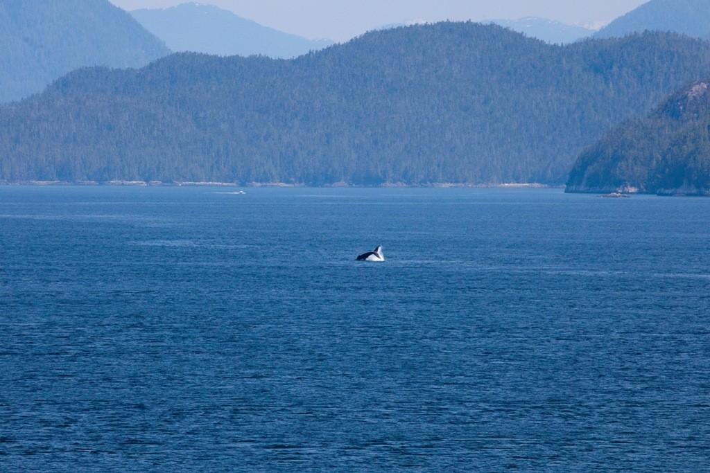 Der erste Schwertwal in der Hecate Strait